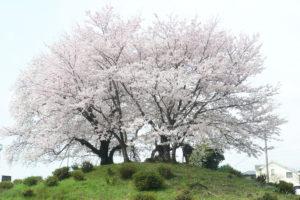 大塚古墳の桜