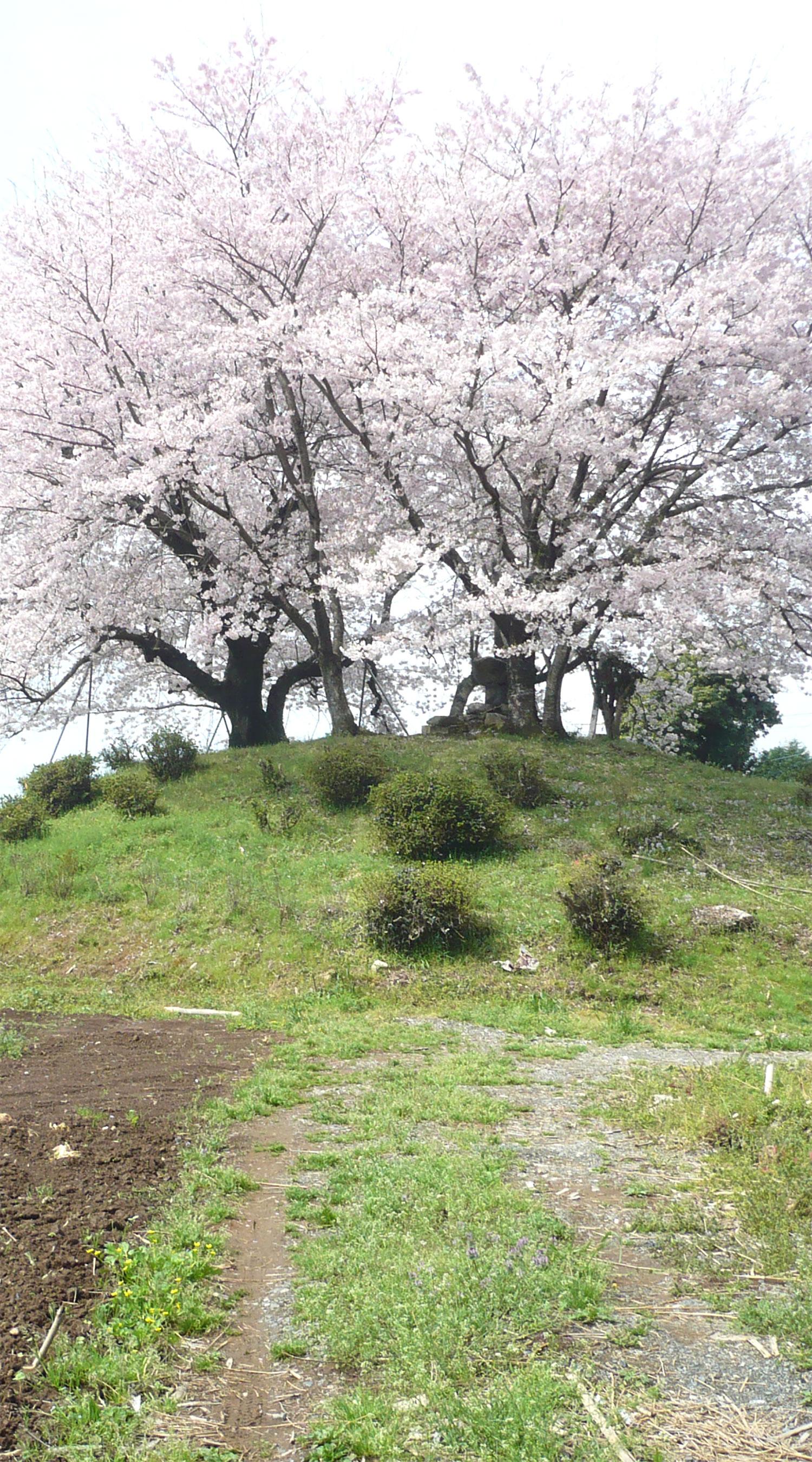 東尾大塚古墳 一本桜